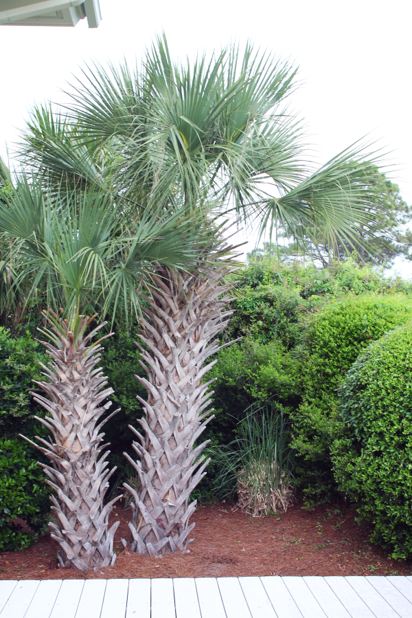 baby-palm-trees-hilton-head-island