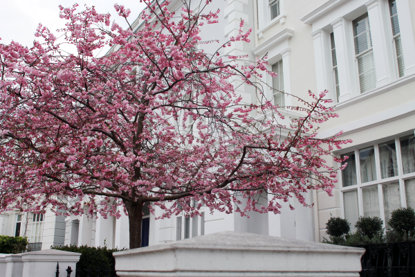 cherry-blossom-tree-london