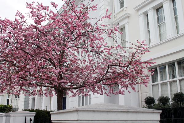 cherry-blossom-tree-london