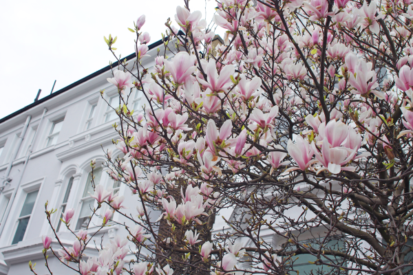 magnolias-notting-hill