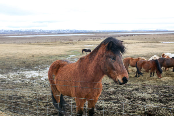 Bows & Sequins Iceland Travel Guide: Icelandic Horses on Golden Circle Tour