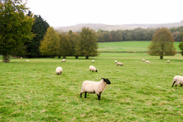 Sheep roaming on the EJ Churchill Estate in the English Countryside