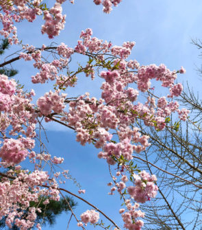 Jessica Sturdy spring trip to Japan during sakura cherry blossom season.