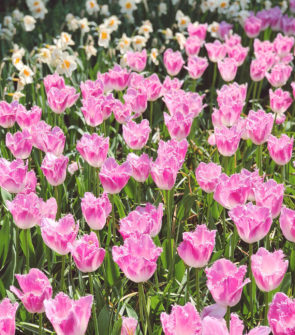 Photo of pink crispa Parrot Tulip field in the Netherlands at Keukenhoff in the Netherlands taken by Jessica Sturdy